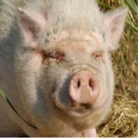 Un porc beat se bate cu o vaca, dupa care lesina sub un copac
