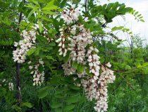 Salcamul- copacul care te fascineaza cu parumul florilor sale