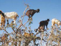 """Caprele cataratoare sunt o """"binecuvantare"""" pentru agricultura marocana"""