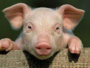 Un fermier este ucis de propriul porc. Animalul i-a muscat penisul si trei degete