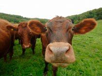 Sondaj: un număr mare de americani cred că laptele cu ciocolată provine de la vaci brune