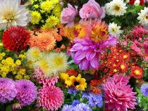 4 flori de toamna care rezista pana la inghet